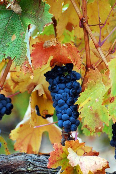 Las variedades de uva