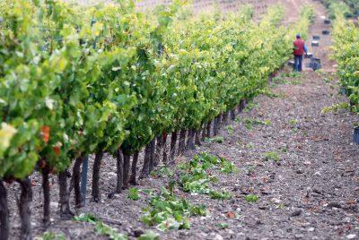 Los viñedos Comenge