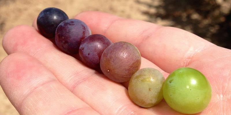 comer uvas