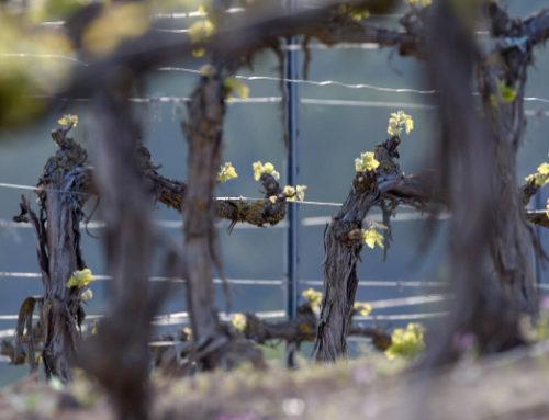 ¿Qué debo tener en cuenta antes de realizar una nueva plantación de viñedo?