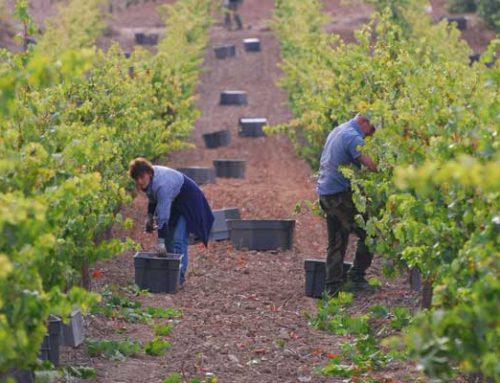 Preparamos la vendimia en Ribera del Duero
