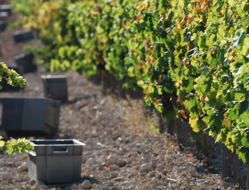 Previsión de vendimia 2019 en Bodegas Comenge