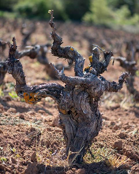Hontoria de Valdearados - Viñas Comenge