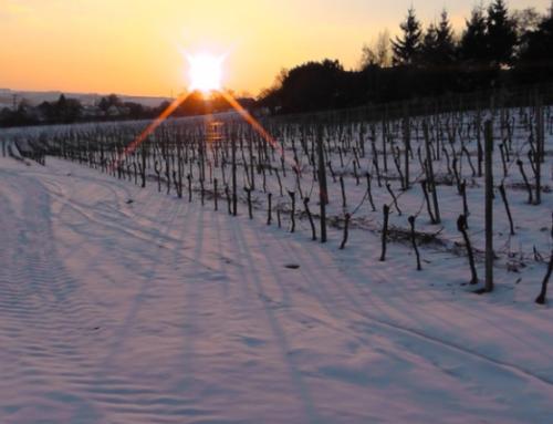 La uva, el frío y la nieve ¿amigos del buen vino?